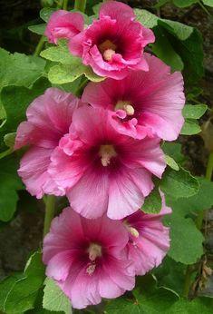 Hollyhocks Flowers, Flowers Perennials, Planting Flowers, Giant Flowers, Beautiful Flowers, Art Floral, Flower Pictures, Rose Flower Photos, Pink Garden