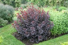 Image of 'cotinus coggygria velvet cloak' (Common Smokebush) Front Yard Landscaping, Backyard Patio, Trees And Shrubs, Trees To Plant, Language Of Flowers, Salvia, Garden Plants, Perennials, Smokebush
