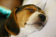 Beagle Nap-time