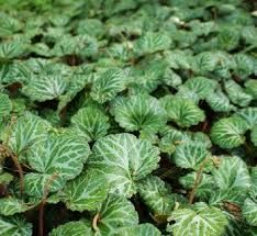 Image result for saxifraga stolonifera