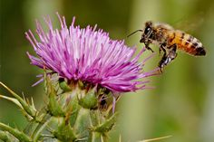 Shop for Milk Thistle Seeds by the Packet or Pound.Com offers Hundreds of Seed Varieties, Including the Finest and Freshest Culinary Herb Seeds Anywhere. Thistle Seed, Thistle Flower, Bee Hive Kits, Milk Thistle Extract, Cleanse Your Liver, Liver Detox, Beekeeping Equipment, Raising Bees, Herb Seeds