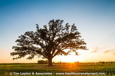 McBaine Bur oak tree - #landscape #tree #nature