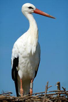 Stork / Une cigogne, nous en avons beaucoup en Alsace