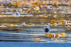 Print of Harbor Seals Wildlife Photography by NaturePrintShop #seal #Christmas #gift #etsyshop #nature #alaska #natureprint #naturephoto #naturephotography #naturephotos