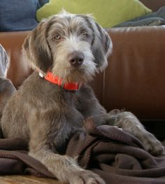 Slovakian Rough Haired Pointer, 'Grey', beautiful!