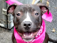 RETURNED 06/05/15 PET HEALTH --- SAFE 6/3/2015 --- Manhattan Center STORM – A1037725 FEMALE, BLUE / WHITE, AM PIT BULL TER MIX, 6 mos OWNER SUR – EVALUATE, NO HOLD Reason LLORDPRIVA Intake condition EXAM REQ Intake Date 05/27/2015