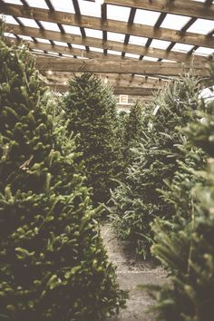 Do you like real or go artificial?  What a great shot of some lovely real trees.  Merry Christmas!