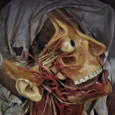 Wax anatomical model, La Speccola (Museum of the History of Science), Florence, Italy 2006,  © Incognita Nom de Plume
