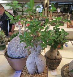 Αποτέλεσμα εικόνας για Frankincense tree bonsai