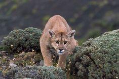 Puma , Torres del Paine , Patagonia , Chile