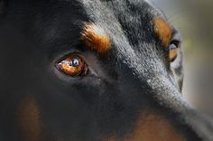Doberman, they tell you everything with their eyes...very smart breed.
