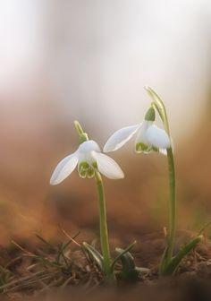 Einen Garten braucht Schneeglöckchen (A garden needs snowdrops)