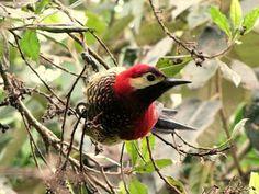 EJE CAFETERO - AVES DE CALDAS - BIRDS OF CALDAS -COLOMBIA: AVES ENTRE LOS 2.300 Y LOS 3.600 m.s.n.m.