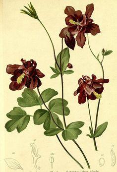 Dark Columbine. Aquilegia atrata. Dark purple flowers. Published 1884.
