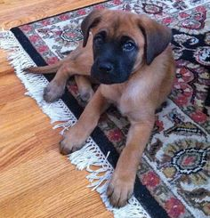 Gus the Boxer Mix-Love that black mask! Adorable!