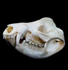 Opossum Skull