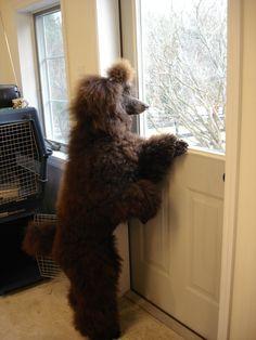 Standard Poodle - best dogs!