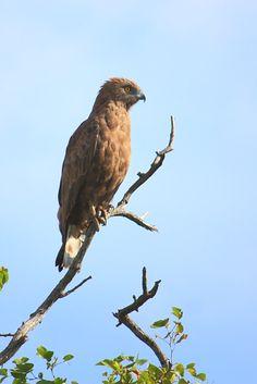 Marshall Eagle. Motswari Game Preserve.