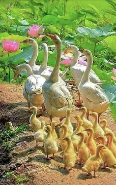 A gaggle of geese and their cute goslings.