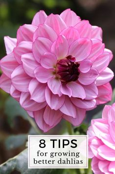 There is nothing difficult about growing dahlias. Give these flower-producing machines a sunny spot in your garden and they will reward you with armloads of beautiful blooms from midsummer to frost. Garden Tips, Herb Garden, Growing Dahlias, Bountiful Harvest, Spring Garden, Container Gardening, Bulbs, Frost, Beautiful Flowers