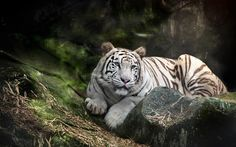 WHITE TIGER on a rock Acrylic Print by Anek Suwannaphoom. All acrylic prints are professionally printed, packaged, and shipped within 3 - 4 business days and delivered ready-to-hang on your wall. Choose from multiple sizes and mounting options. Pumas, Black Animals, Animals And Pets, Nature Animals, Best Android, Cover Pics, Endangered Species, Hd Wallpaper, Desktop Wallpapers