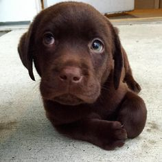 "Check out our internet site for additional details on ""Labrador Retriever dogs"". It is actually an outstanding location for more information. Labrador Retriever Chocolate, Chocolate Lab Puppies, Golden Retriever, Chocolate Labs, Cute Dogs And Puppies, I Love Dogs, Doggies, Beautiful Dogs, Animals Beautiful"