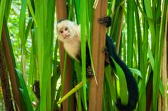 Monkey in trees at Manuel Antonio National Park in Costa Rica