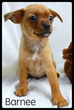 ***6/21/14 STILL LISTED PETFINDER***BARNEE ~~~ Weight: About 2 pounds ~~~ Approximate Birth date: 4/28/14 True Age in human years: http://tinylovingcanines.blogspot.com/2013/08/aging-chihuahua.html ~~~ Energy level: Puppy   ALWAYS check our WEBSITE DIRECTLY to see if this dog or puppy is still available.