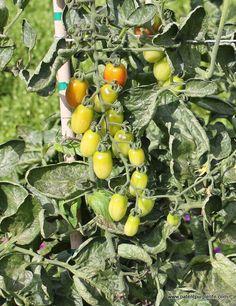 Plum tomatoes on the vine, Kew Gardens