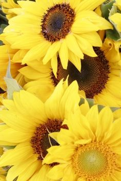 Sunflowers (and daisies) are my favorite! Happy Flowers, Yellow Flowers, Beautiful Flowers, Sun Flowers, Sunflower Flower, My Flower, Sunflower Garden, Sunflowers And Daisies, Wildflowers