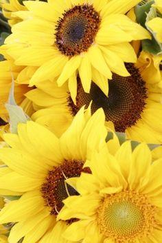 Sunflowers = Summertime :)