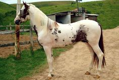 Mangalarga Paulista. A light, versatile horse from Brazil. Developed from the Mangalarga Marchador by São Paulo breeders.