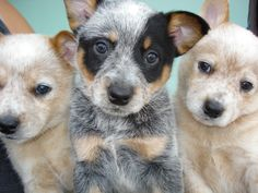 Australian Cattle Dog Pups