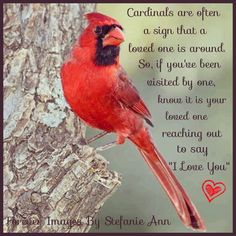 new Ideas for red bird quotes signs heavens - Pet care is both enjoyable business. But it is an effort that requires as much responsibility. We must provide them with everything they need to maint Cardinal Birds Meaning, Bird Meaning, Signs From Heaven, Pomes, Encouragement, Young Animal, I Love You Forever, Beautiful Birds, Grief