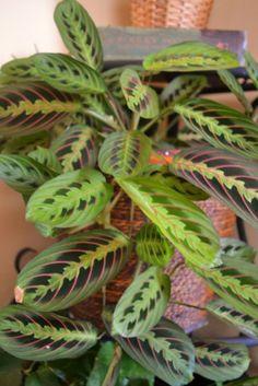 Maranta, the prayer plant