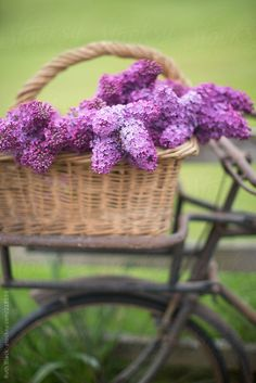 Lilacs on a vintage bicycle by Ruth Black