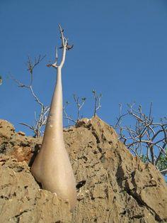 Tree in Socotra Island
