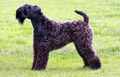 kerry blue terrier photo | photo de Terrier Kerry Blue