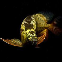 How To Keep Arowana Fish In Aquarium # Arowana Care Guide Aquariums, Ancient Fish, Oscar Fish, Aquarium Air Pump, Dragon Fish, Aqua Culture, Freshwater Aquarium Fish, Aquarium Design, Fish Wallpaper