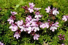 3. #Thymus Caespititius - 7 #Plants for a Very Sunny #Balcony ... → #Gardening #Maintenance