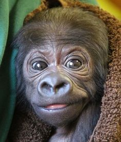 A baby gorilla at the Wilhelma Zoo in Stuttgart. Germany - Pixdaus