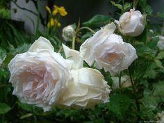 'Madame Bravy' Rose by SpicySalmon