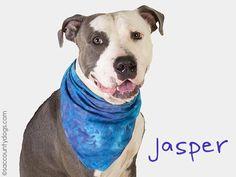 American Pit Bull Terrier dog for Adoption in Sacramento, CA. ADN-643264 on PuppyFinder.com Gender: Male. Age: Adult