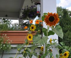 sunflower cottage - Google Search