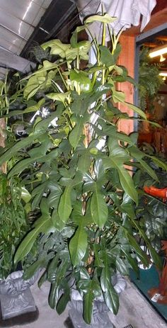 Philodendron bipennifolium - Horsehead Philodendron