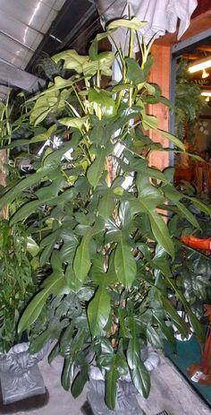Philodendron bipennifolium - Horsehead Philodendron