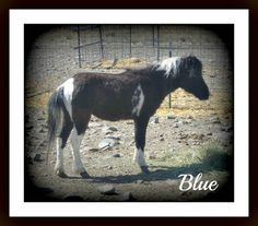 This is Blue...one of the mini's available for adoption at Rocky Acres Rescue!  www. rockyacreshorserescue  .org