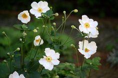 japanse anemoon schaduw --> vind dit zo mooi & sierlijk
