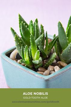 Aloe nobilis Gold Tooth Aloe succulent care and propagation information card Succulent Names, Propagating Succulents, Succulent Gardening, Succulent Terrarium, Planting Succulents, Planting Flowers, Succulent Plants, How To Water Succulents, Types Of Succulents