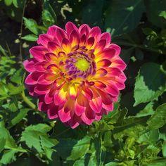 Dahlienschau in Lindau – Teil 1 Plants, Photos, Dahlias, Nice Asses, Plant, Planting, Planets